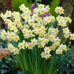 Daffodil - Narcissus Minnow