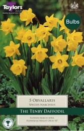 Daffodil - Narcissus Obvallaris