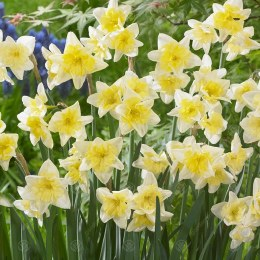 Daffodil - Narcissus Prom Dance