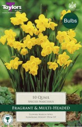 Daffodil - Narcissus Quail