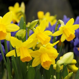 Dafodil - Narcissus 'Tete A Tete' 8 Pack