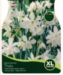 Daffodil - Narcissus 'Thalia'