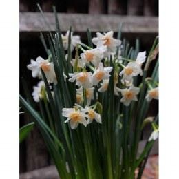 Daffodil - Narcissus Doll Baby