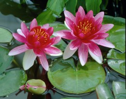 Nymphaea Attraction P11