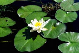 Nymphaea Marliacea Albida | Water Lily  P11