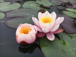 Nymphaea Marliacea Rosea | Water Lily P11