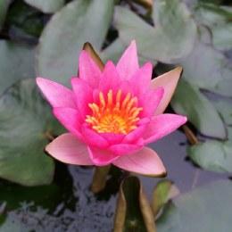 Nymphaea Pygmaea Rubra | Water Lily