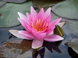 Nymphaea René Gérard Water Lily  P11