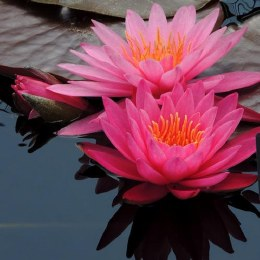 Nymphaea Rose Arey Water Lily P11