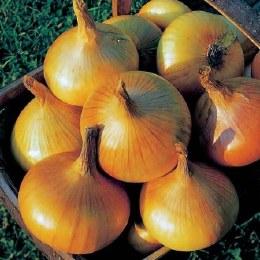 Onion 'Senshyu Yellow' 50 Pack