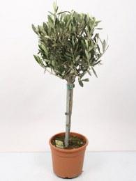 Olea Europaea | Olive Tree - Mini Stem 70cm Tall