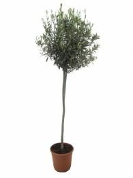 Olea Europaea | Olive Tree - Stem 90cm 170cm Tall