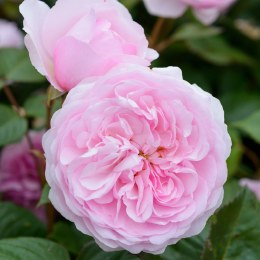 Olivia Rose Austin David Austin Fragrant Rose 5 Litre