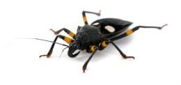 Orange Spotted Assassin Bug