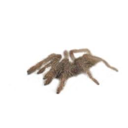 Tarantula Ornamental Baboon Spiderling