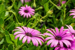 Osteospermum 'Cannington Roy' | African daisy 'Cannington Roy'