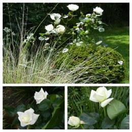 Pascali Hybrid Tea Rose - 3 Litre