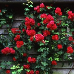 Pauls Scarlet Climbing Rose - 5.5 Litre