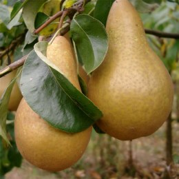 Pear 'Burre Hardy' 2 year Bush