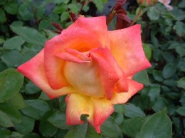 Piccadilly Hybrid Tea Rose - 3 Litre