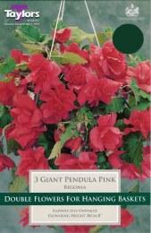 Begonia Pendula Pink Giant - 3 Pack