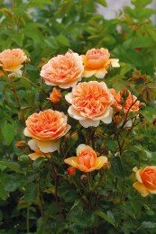 Port Sunlight David Austin Rose - 4 Litre
