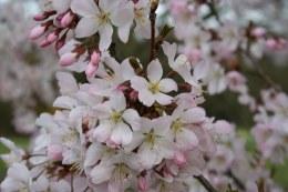 Prunus Pandora Cherry Pandora 10L
