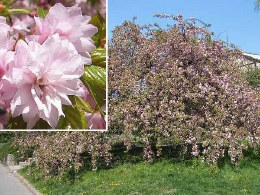 Prunus serrulata Kiku-Shidare-Zakura 10L