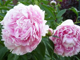 Paeonia lact. 'Sarah Bernhardt'