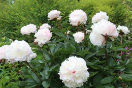 Paeonia lact. 'Shirley Temple'