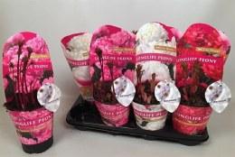 Paeonia Lactiflora Hybrids 2ltr Rosepot
