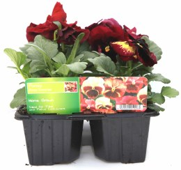 Pansy 6 Pack Rose Surprise