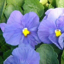 Pansy 6 Pack True Blue