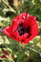 Papaver Beauty of Livermere 2L