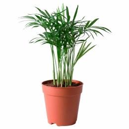 Parlor palm | Chamaedorea elegans