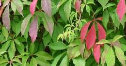 Virginia Creeper | Parthenocissus quinquefolia 'Engelmannii'
