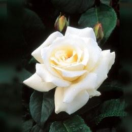 Pascali Hybrid Tea Rose 5.5 Litre