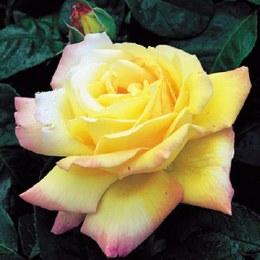 Peace Hybrid Tea Rose - 3 Litre