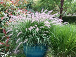 Pennisetum 'Fairy Tails' | Fountain grass 'Fairy Tails'