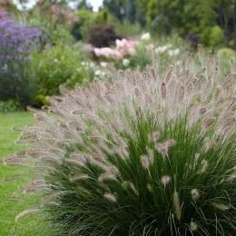 Pennisetum 'Hameln' | Fountain grass 'Hameln'