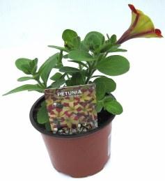 Petunia Amore Queen of Hearts 10cm