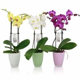 Phalaenopsis Mix 13cm