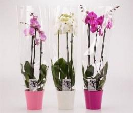 Phalaenopsis mix 60-65cm 3 Stem in a 12cm Ceramic Pot