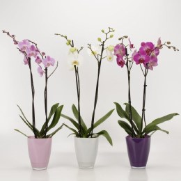Orchid Mix Colours - Phalaenopsis Mix  in 13cm Glasspot 'Bombay'