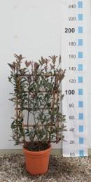 Photinia Serr. Pink Marble Espallier 100cm x 60cm