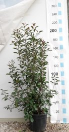 Photinia Ser. Red Robin 150-175cm Tall in 30 Litre