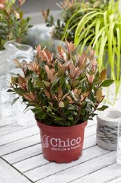 Photinia fras. Chico 2L pot