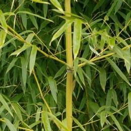 Phyllostachys Aurea 150-175cm