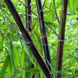 Phyllostachys Nigra | Black Bamboo - 400cm Tall
