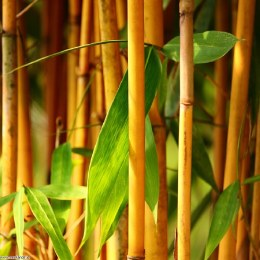 Phyllostachys aureos. 'Aureocaulis' 150cm